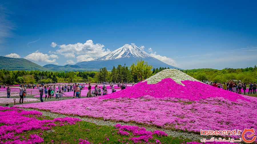 پارک مملو از گل های صورتی در ژاپن 