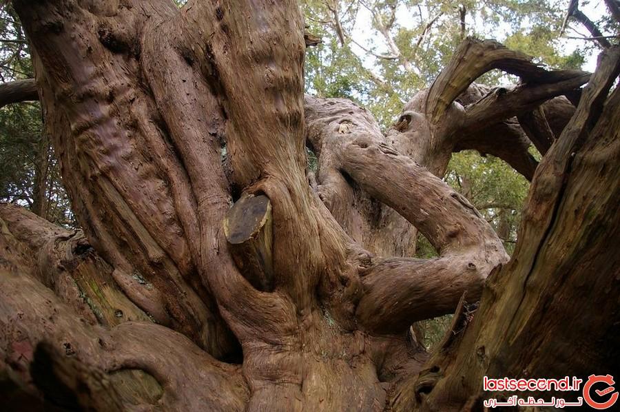 جنگل اسرارآمیز و باستانی کینگلی وله
