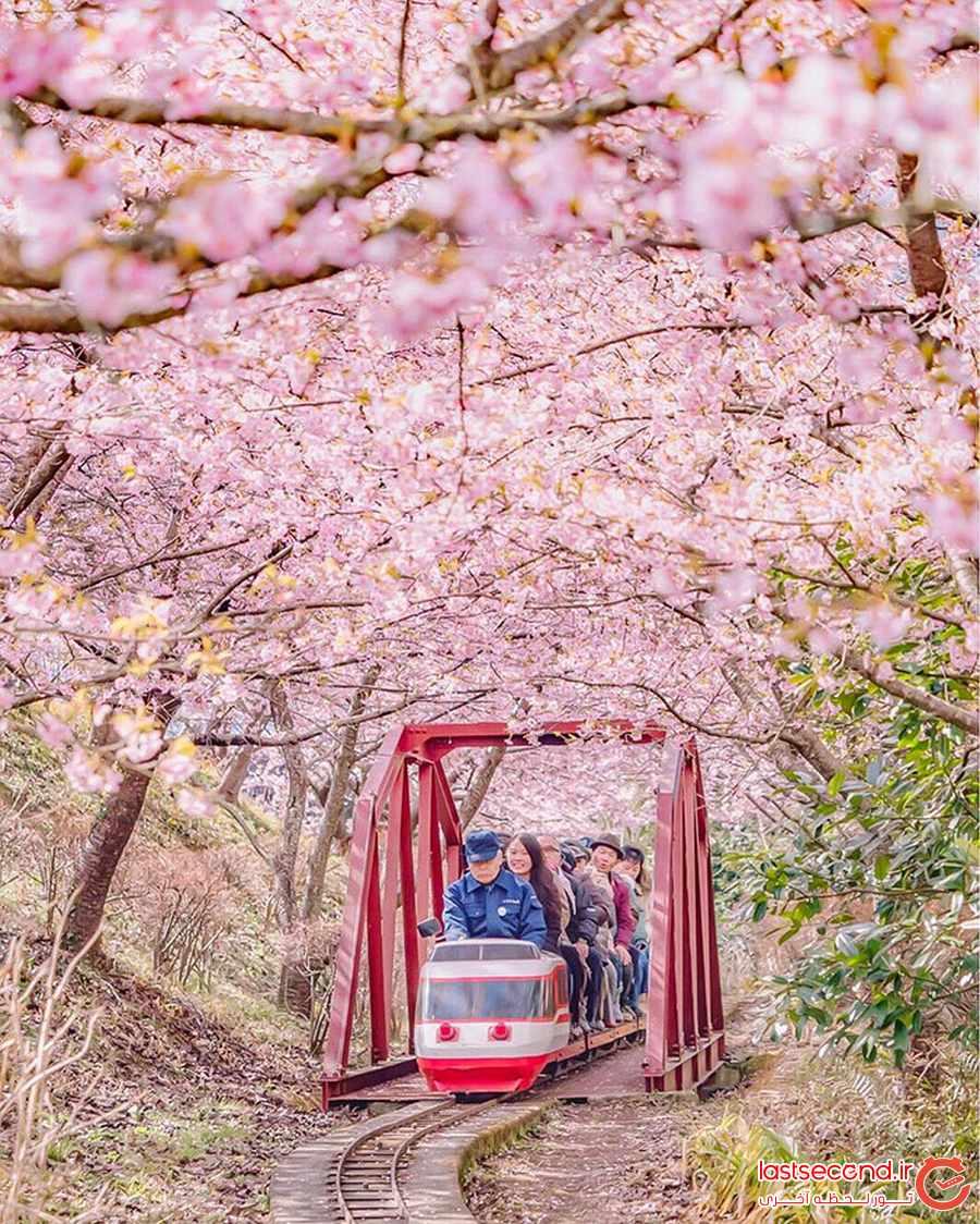 تصاویری از شکوفه های گیلاس زودهنگام در ژاپن              