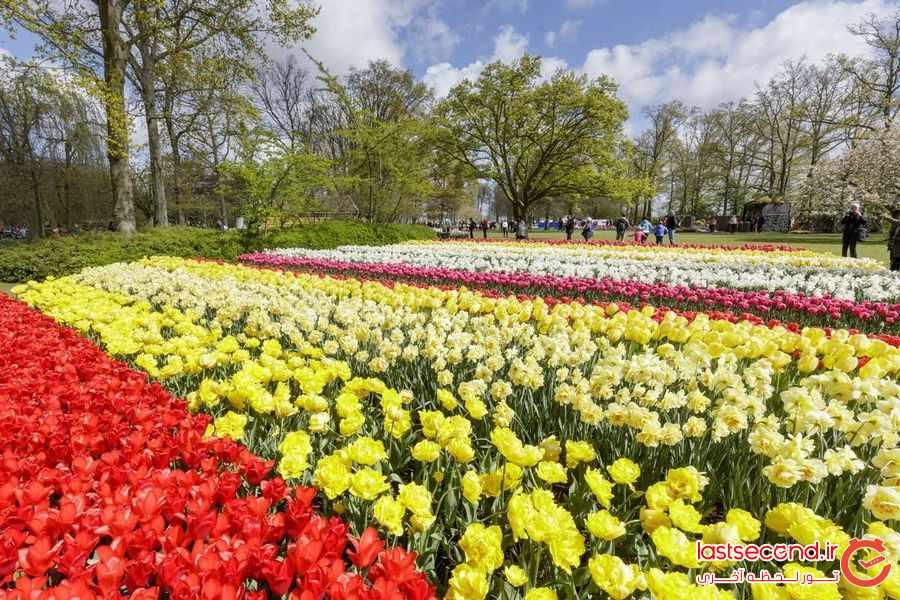 تصاویر خارق العاده از جشنواره گل های لاله در هلند             