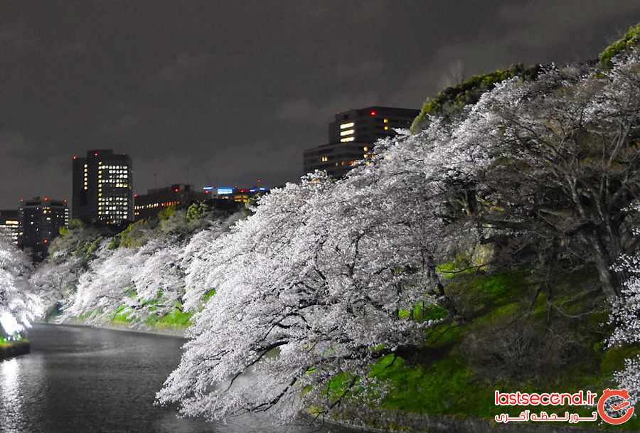تصاویری زیبا و دیدنی از شکوفه های گیلاس در توکیو              