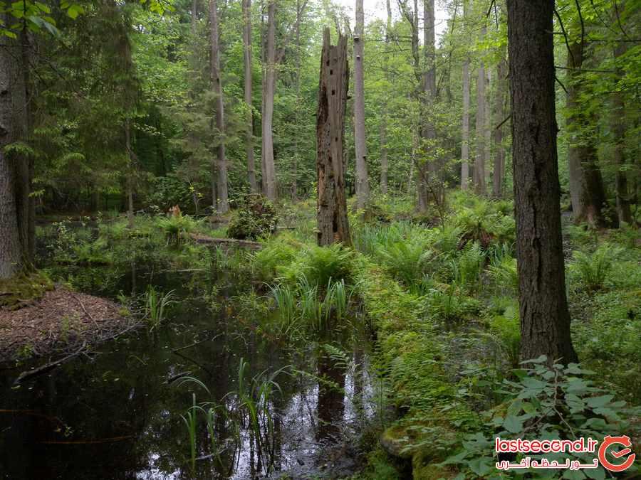 سرنوشت آخرین جنگل کهن اروپا چه شد ؟              