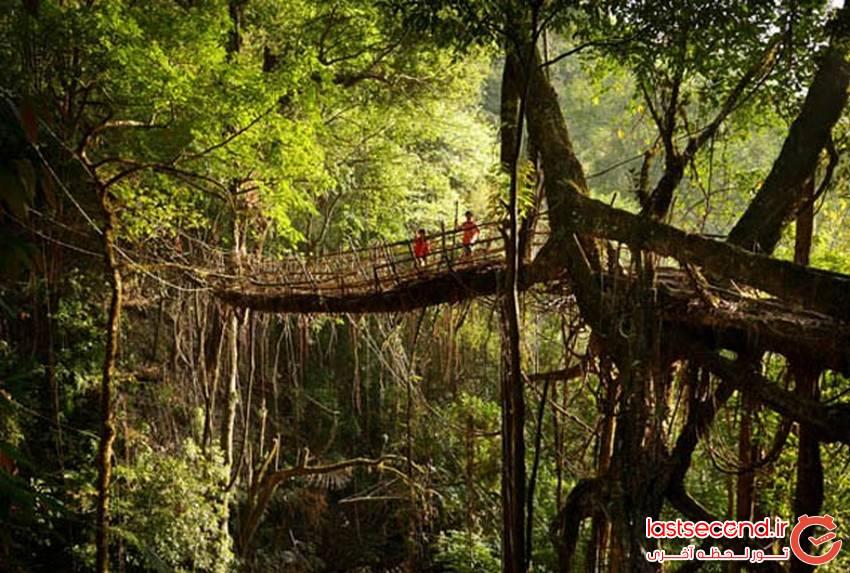 پلی عجیب از ریشه درختان زنده در هندوستان
