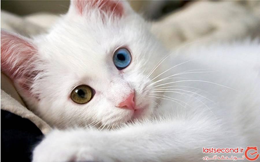 گربه وان 