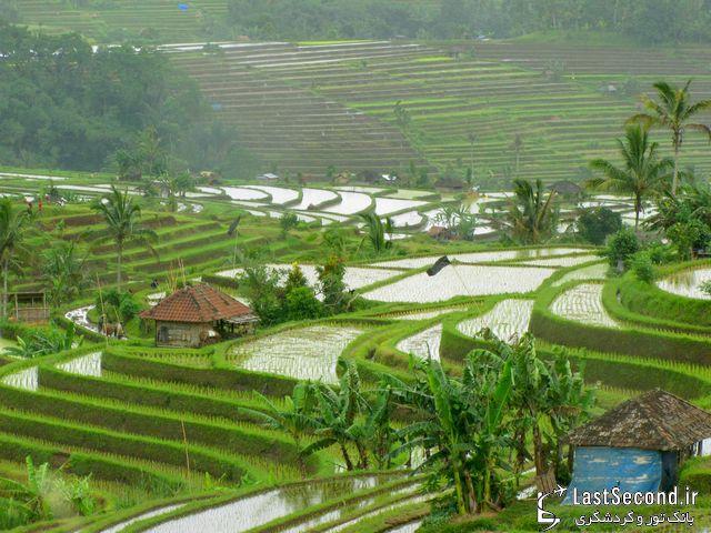چشم اندازی بیبدیع مزارع برنج در بالی اندونزی