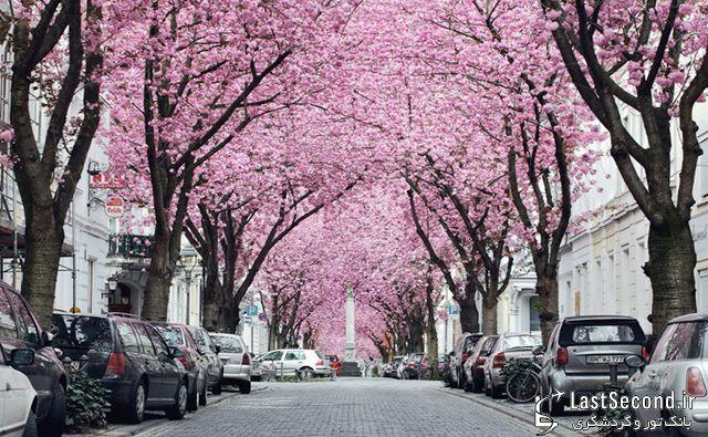 خیابان شکوفه های گیلاس در آلمان