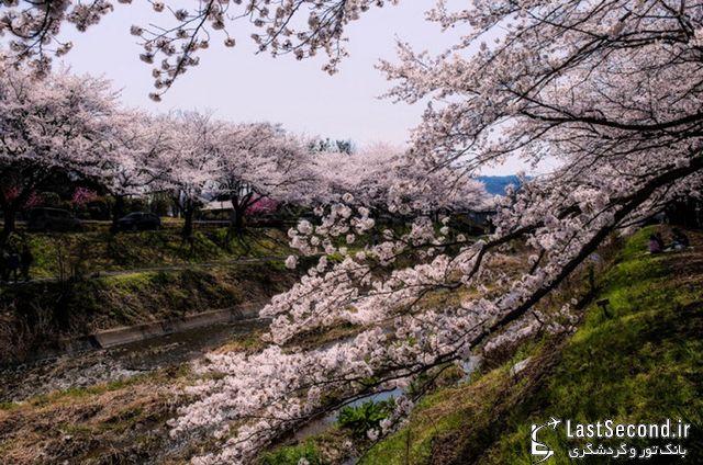 فستیوال شکوفههای گیلاس (ساکورا)